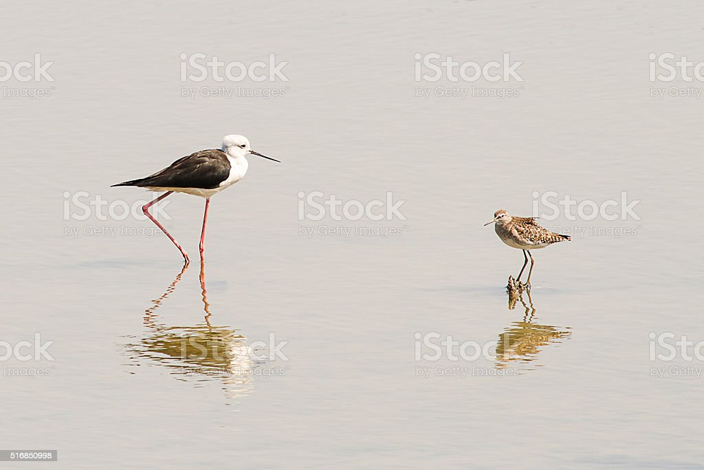 Two seabirds walking on the shallow water stock photo