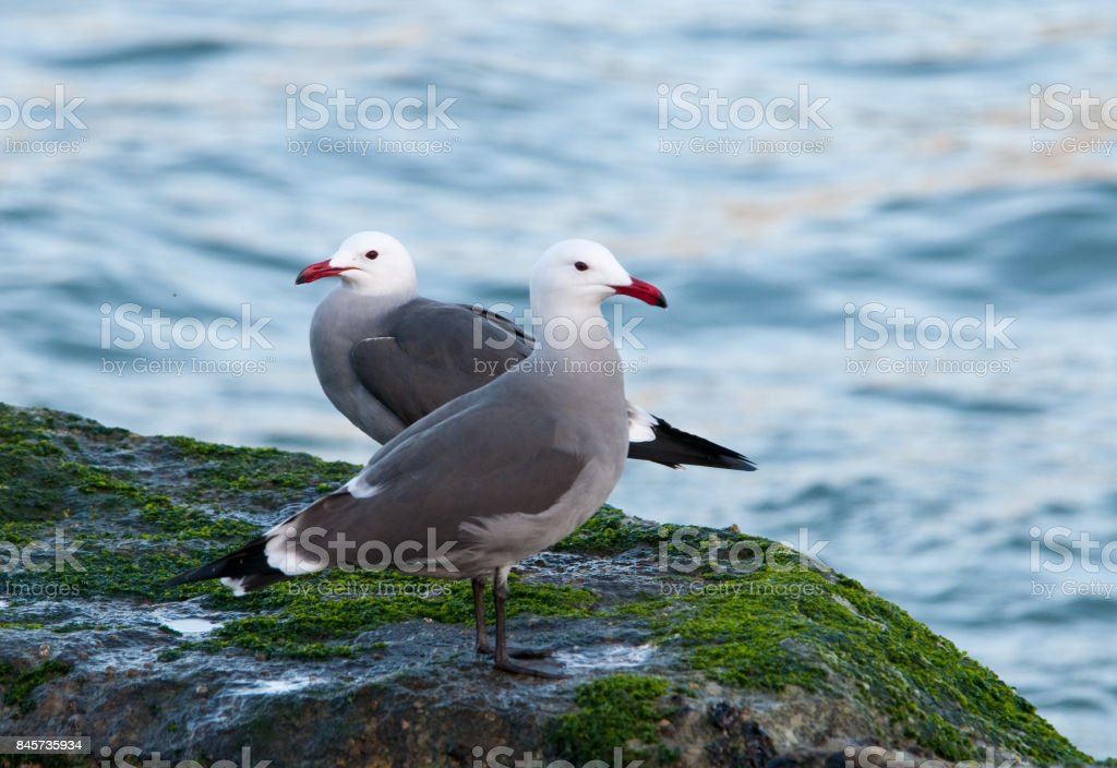 Two seagulls on a rock by the ocean. stock photo