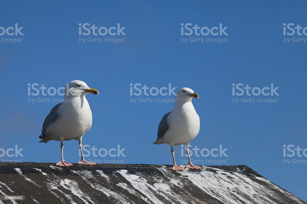 Two Seagulls on shed roof stock photo