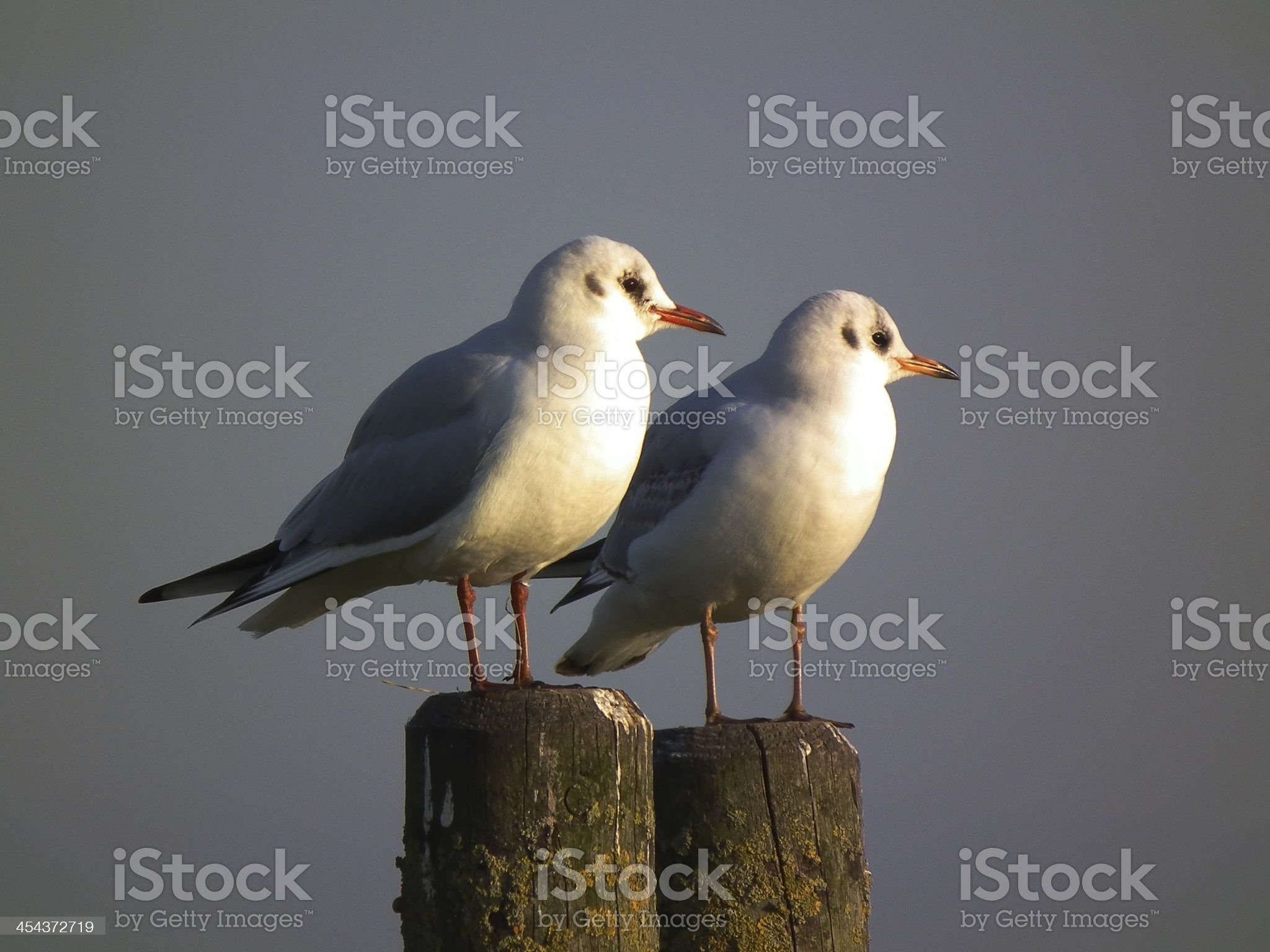 Two seagulls royalty-free stock photo
