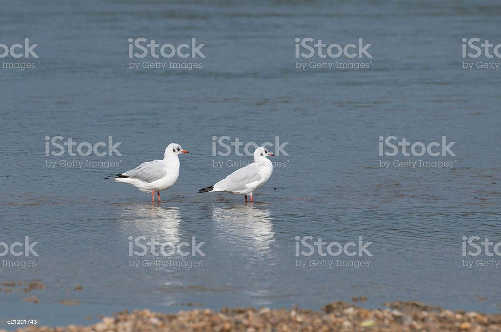 two seagulls resting royalty-free stock photo