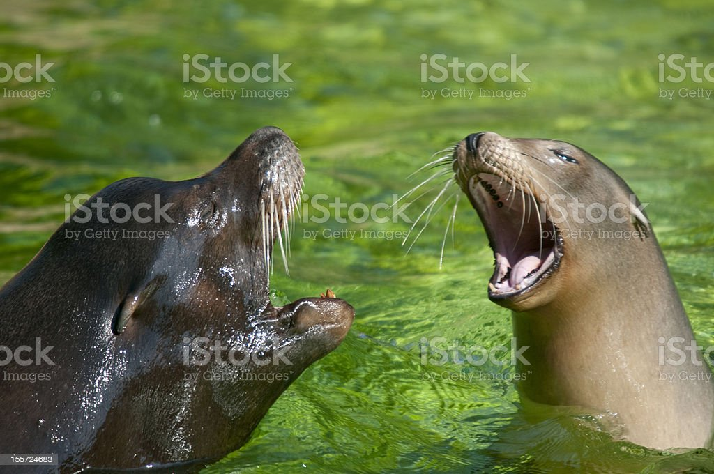 Two seals are playing. stock photo