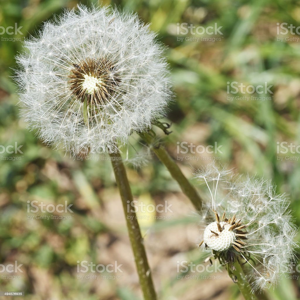 two seed heads of dandelion blowballs close up royalty-free stock photo
