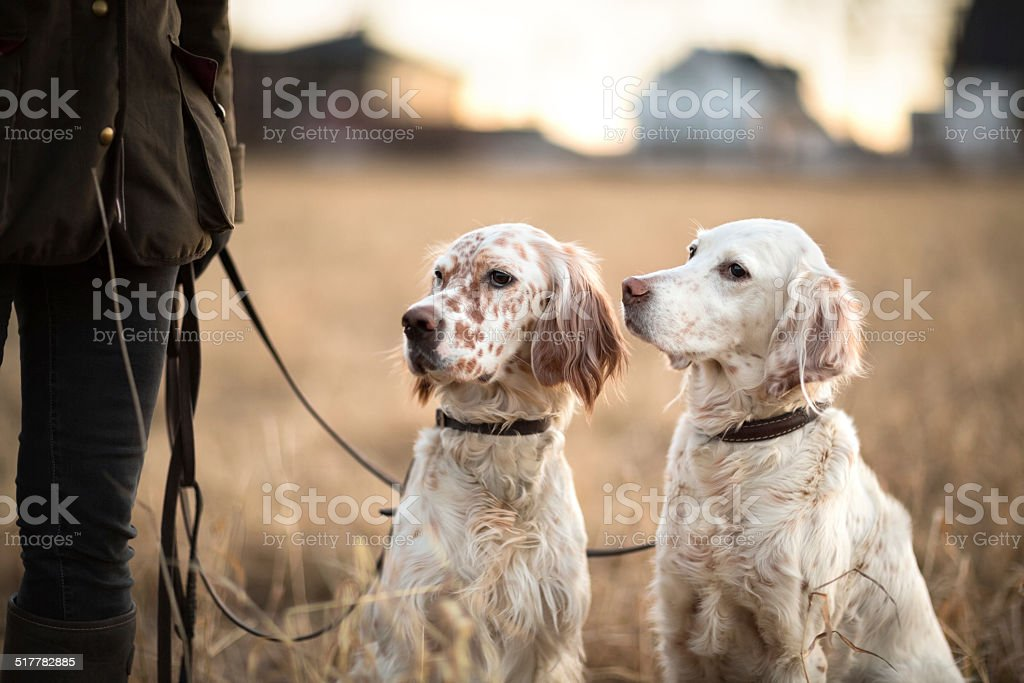 Two Setters next to the owner, Oslo Norway stock photo