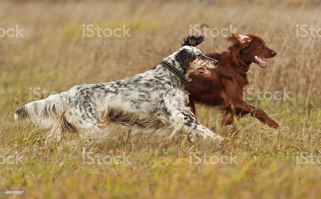 two setters runs on a green grass stock photo