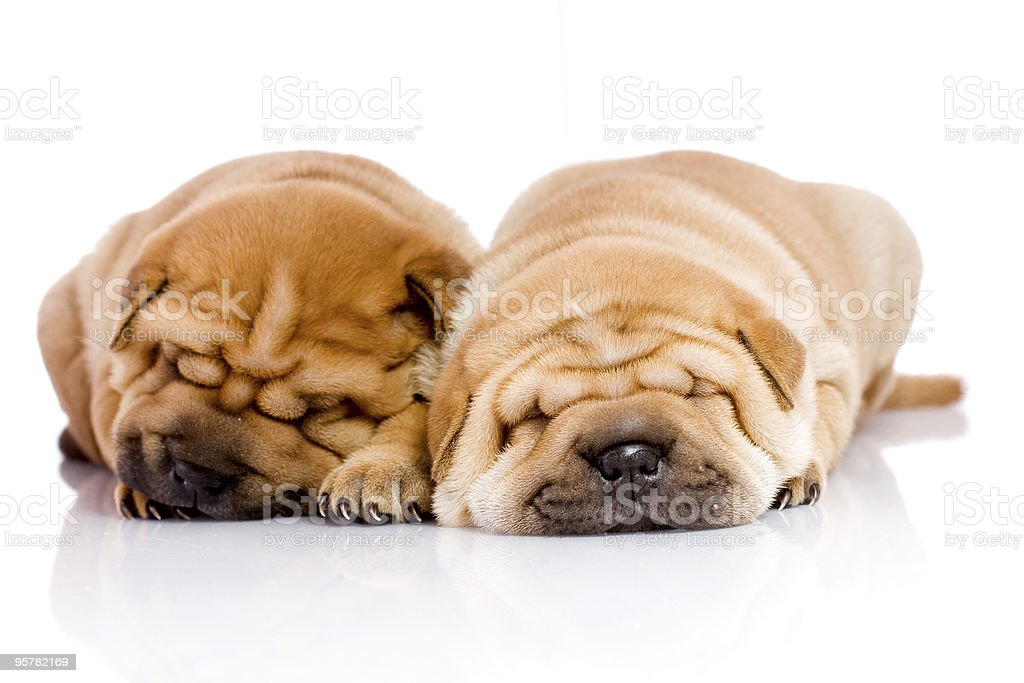 two Shar Pei baby dogs royalty-free stock photo