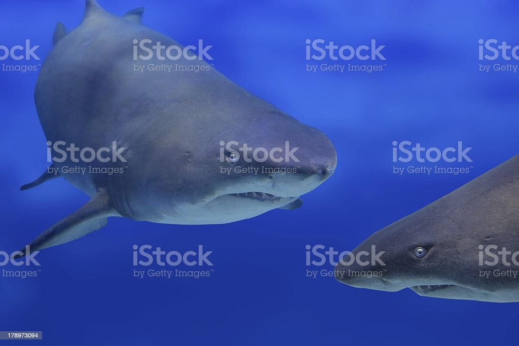 Two sharks stock photo