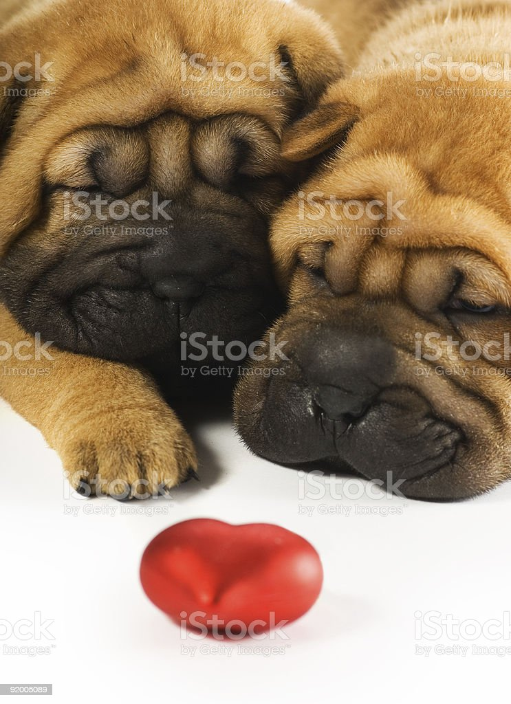 Two sharpei puppies in love royalty-free stock photo
