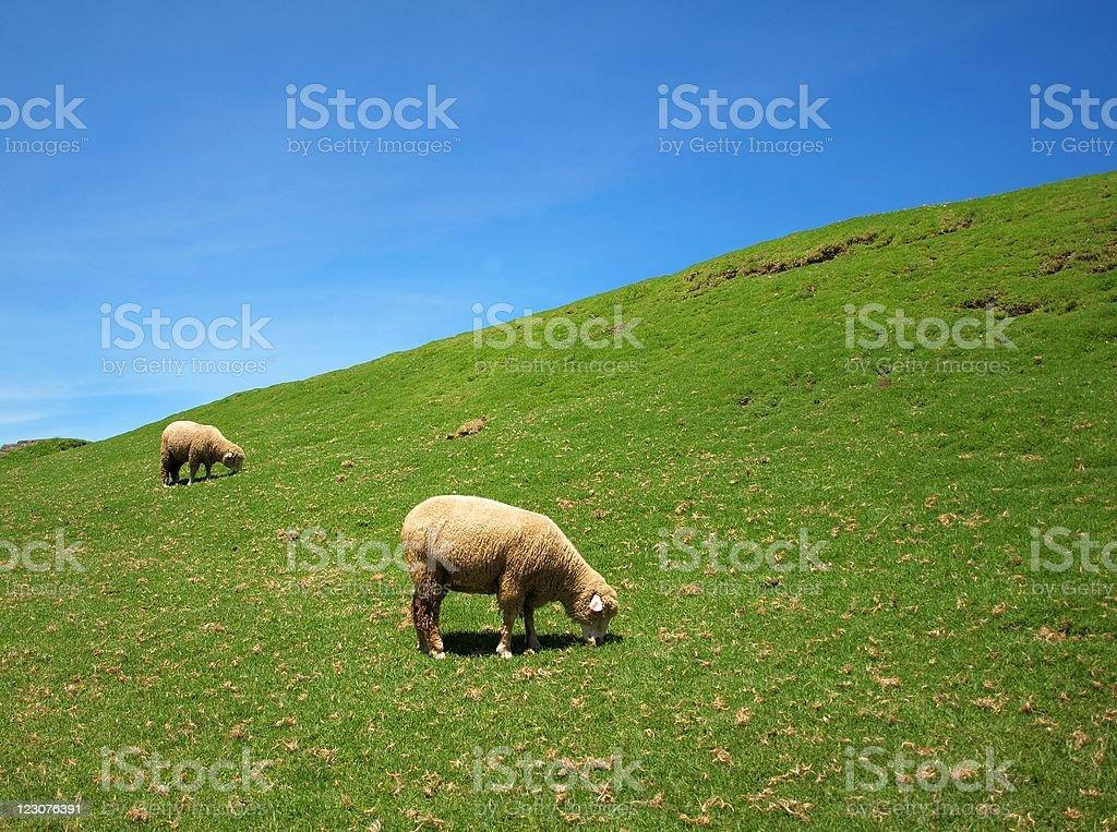 Two sheep graze on lush grass stock photo