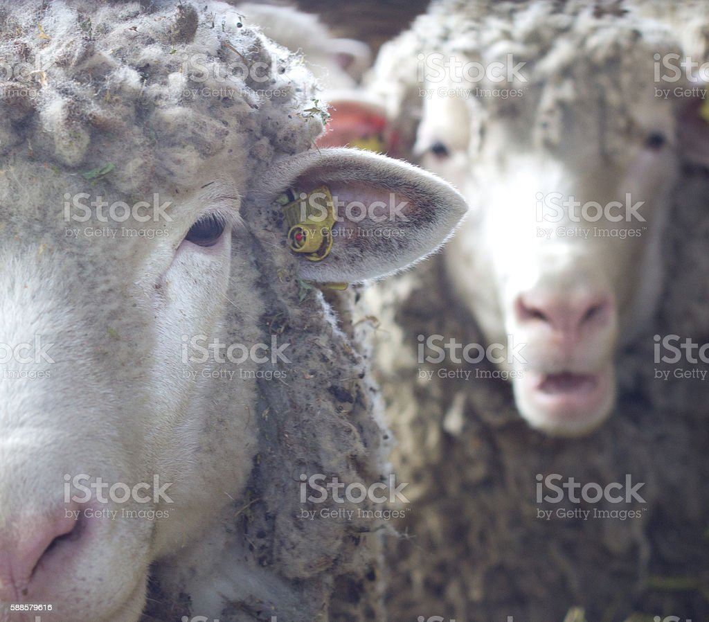 Two sheep looking at camera stock photo