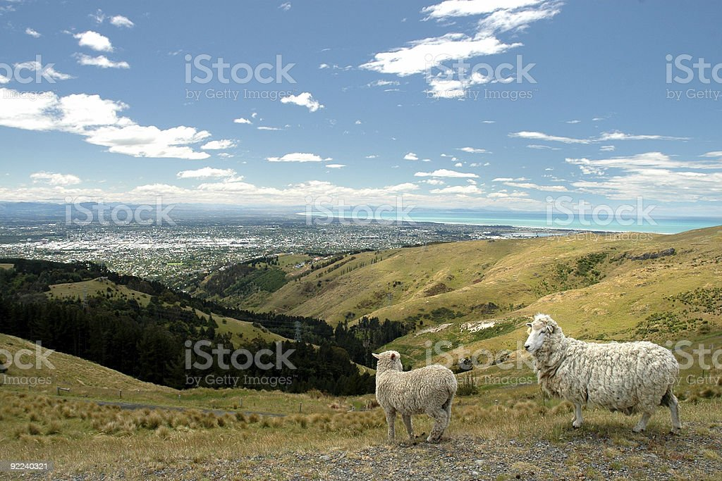 Two sheep on a hill overlooking Christchurch, New Zealand royalty-free stock photo