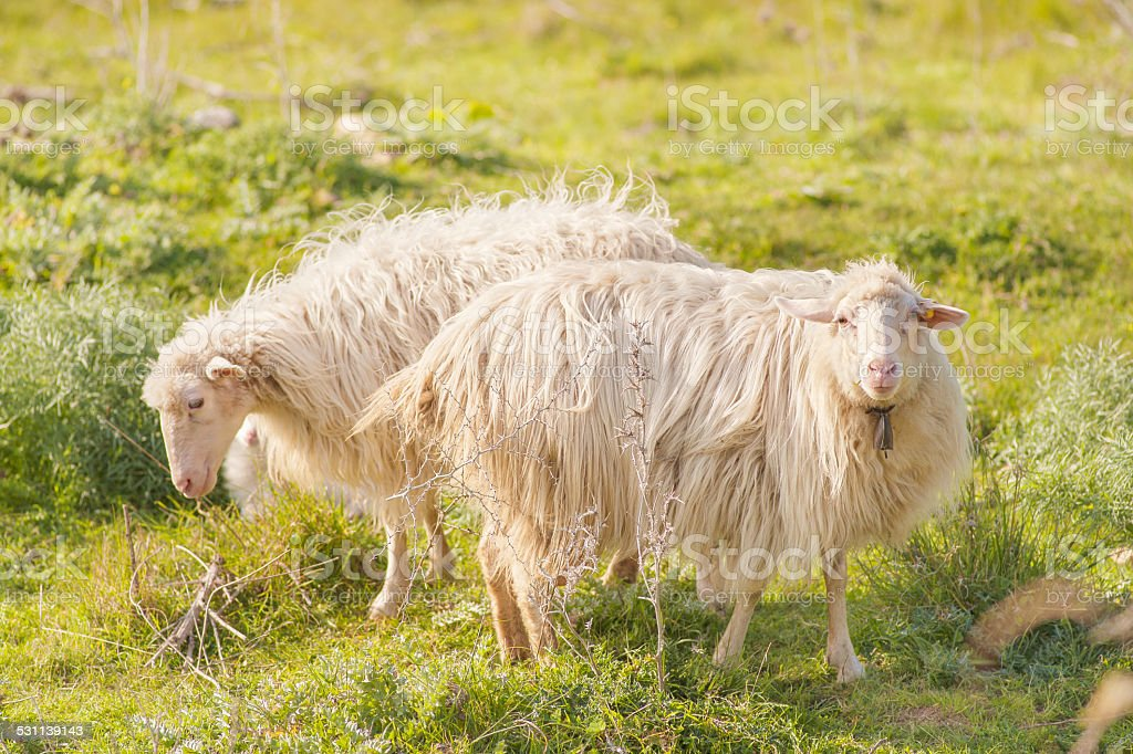 two sheep opposing in the grass stock photo