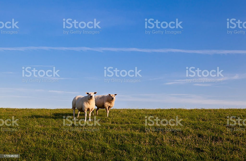 two sheep over sky royalty-free stock photo