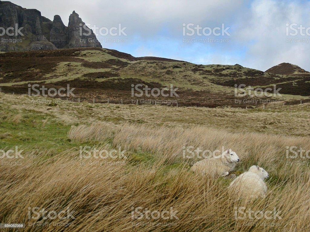 Duas Ovelhas descansar em Terras Altas da Escócia foto de stock royalty-free