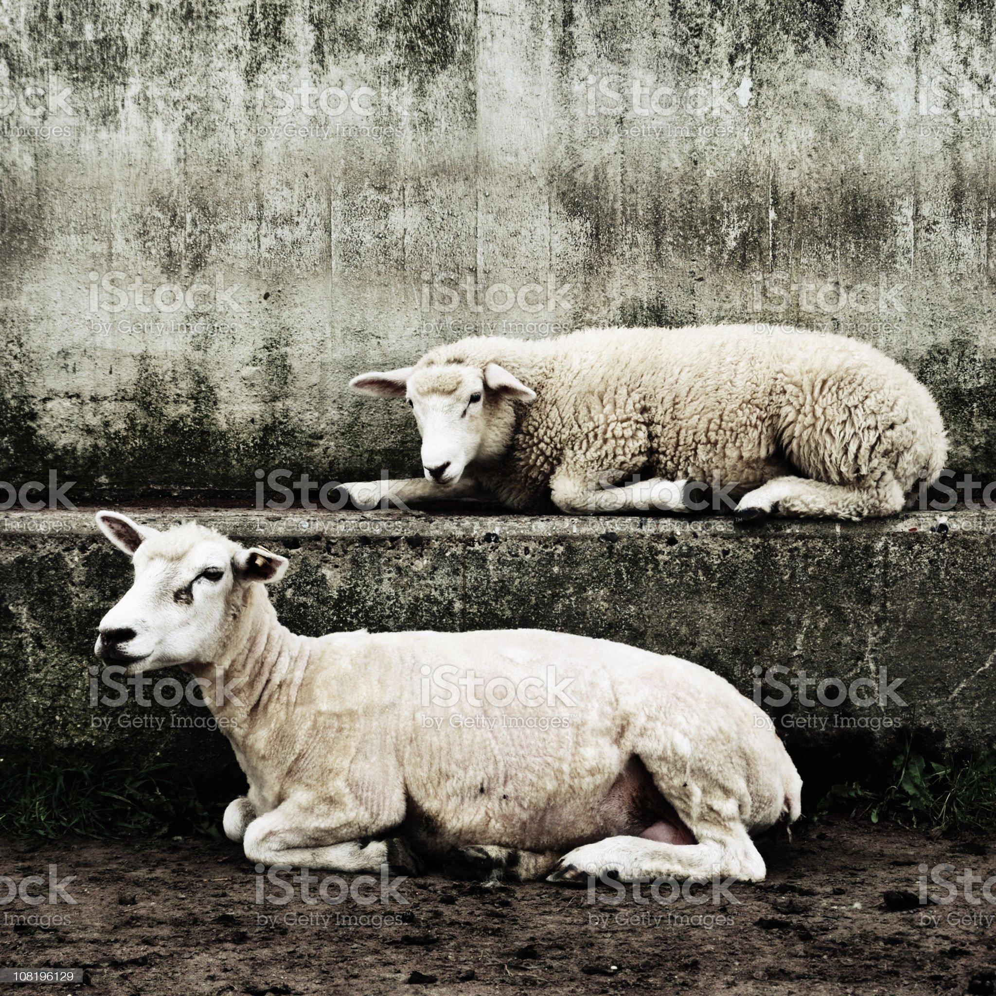 Two Sheep Sleeping on Concrete Wall royalty-free stock photo