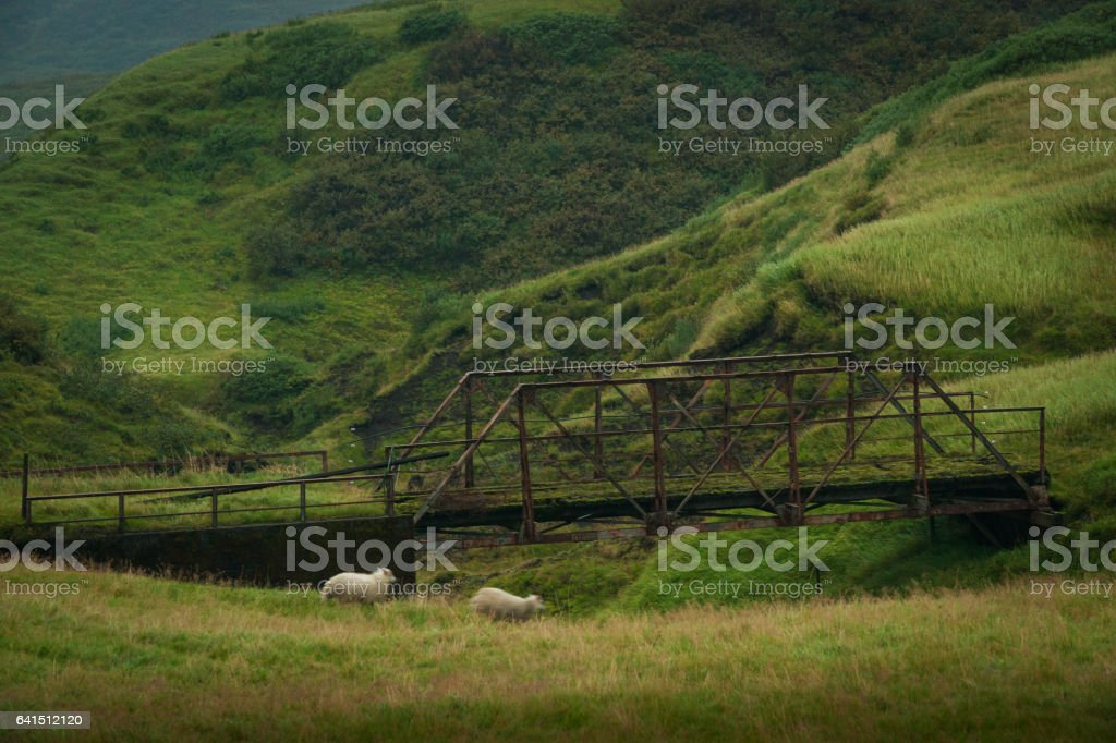Two sheep wander in a grassy field stock photo