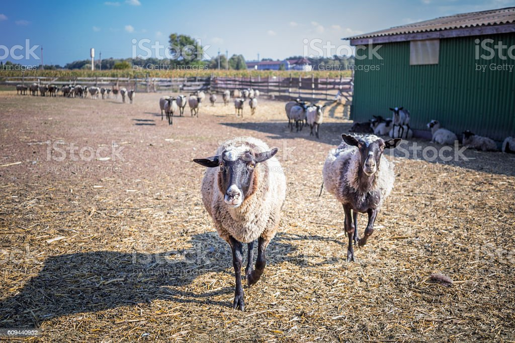 Two sheeps walk behind fence at stall of farm stock photo