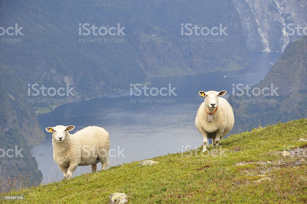 Two sheeps with fjord background stock photo