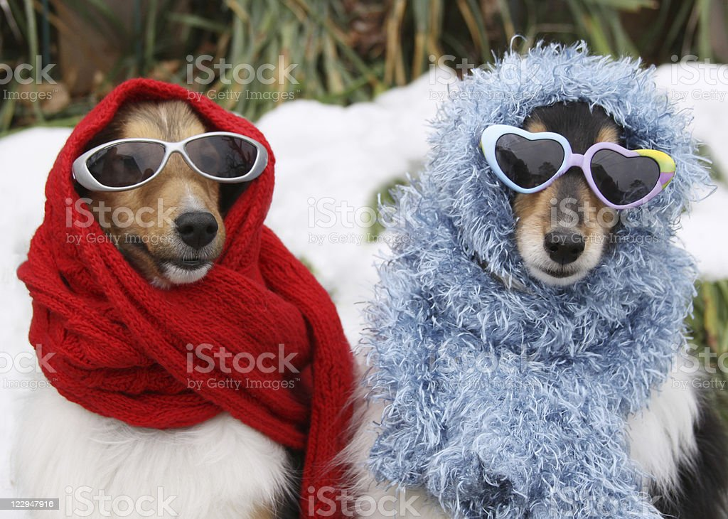 Two Shetland Sheepdogs Wearing Sunglasses and Scarves in Winter stock photo