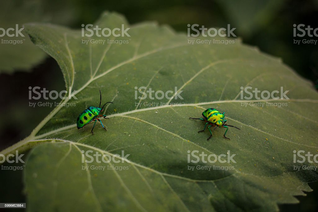 Two shiny green bugs sitting on a sunflower leaf stock photo