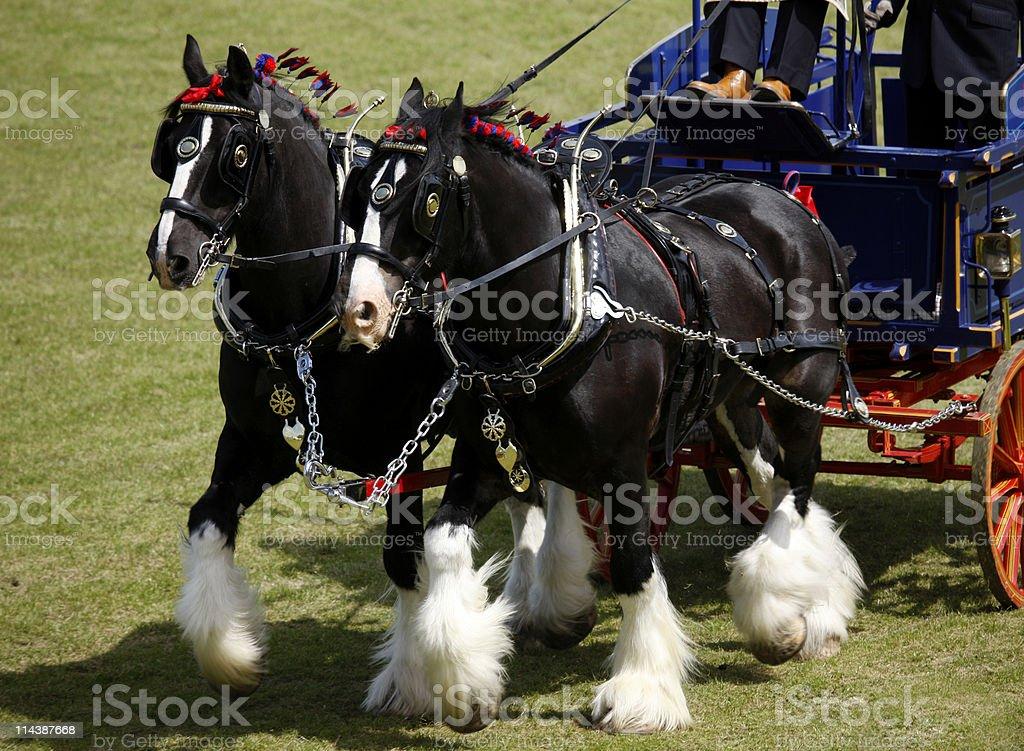 Two Shire Horses stock photo