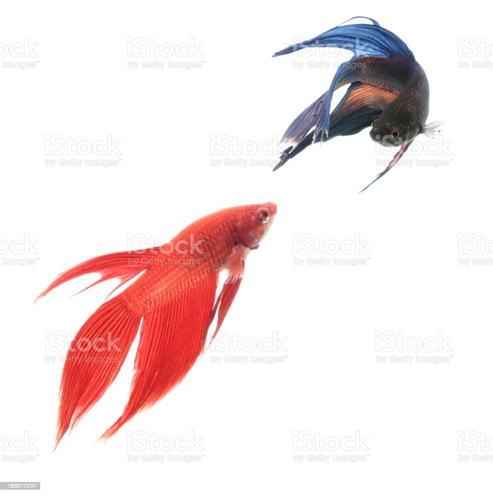 Two Siamese fighting fish against white background royalty-free stock photo