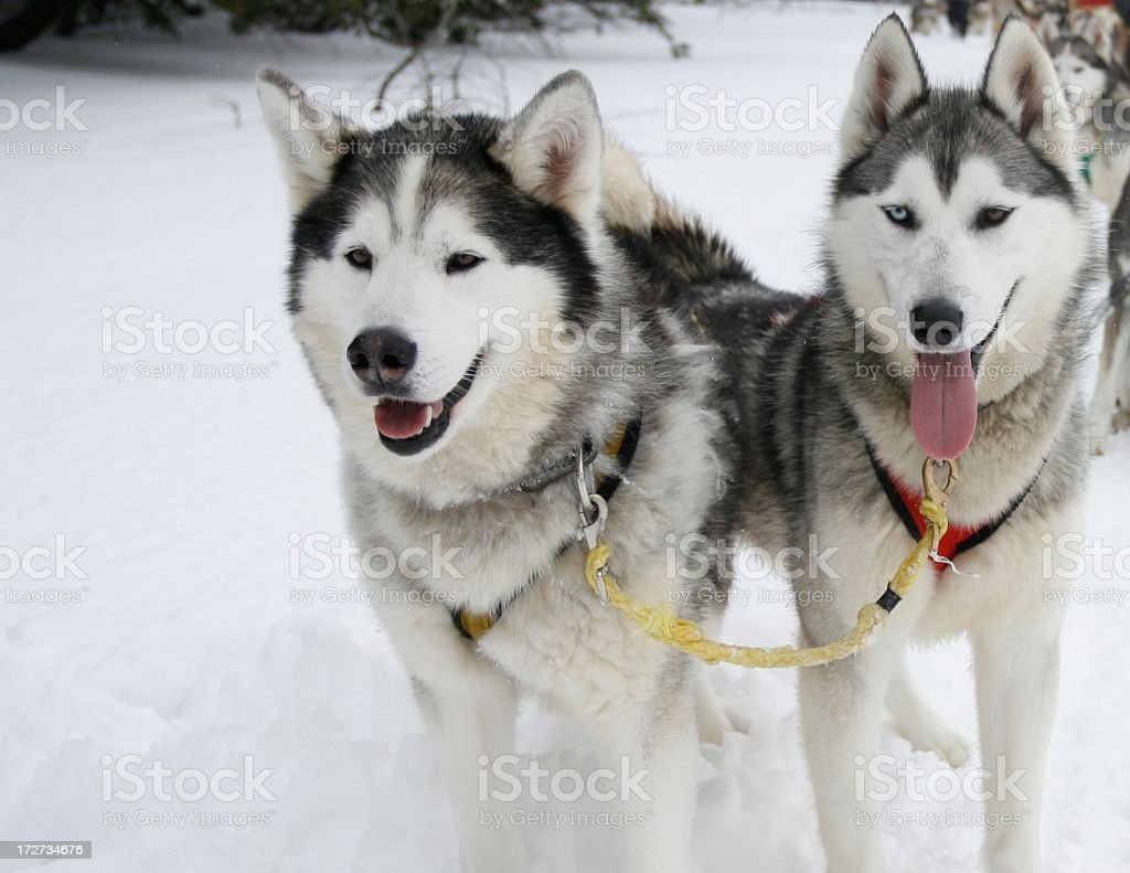 Two Siberian husky dogs pulling a sled royalty-free stock photo