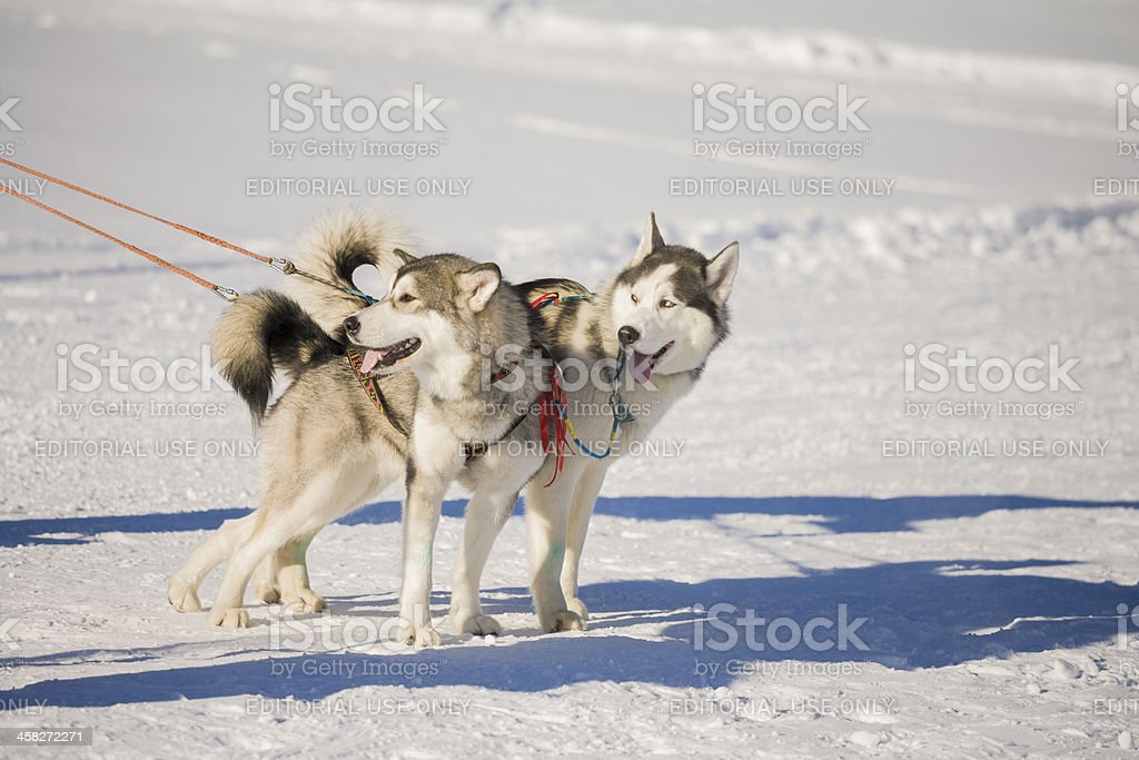 two siberian husky dogs with harness stock photo