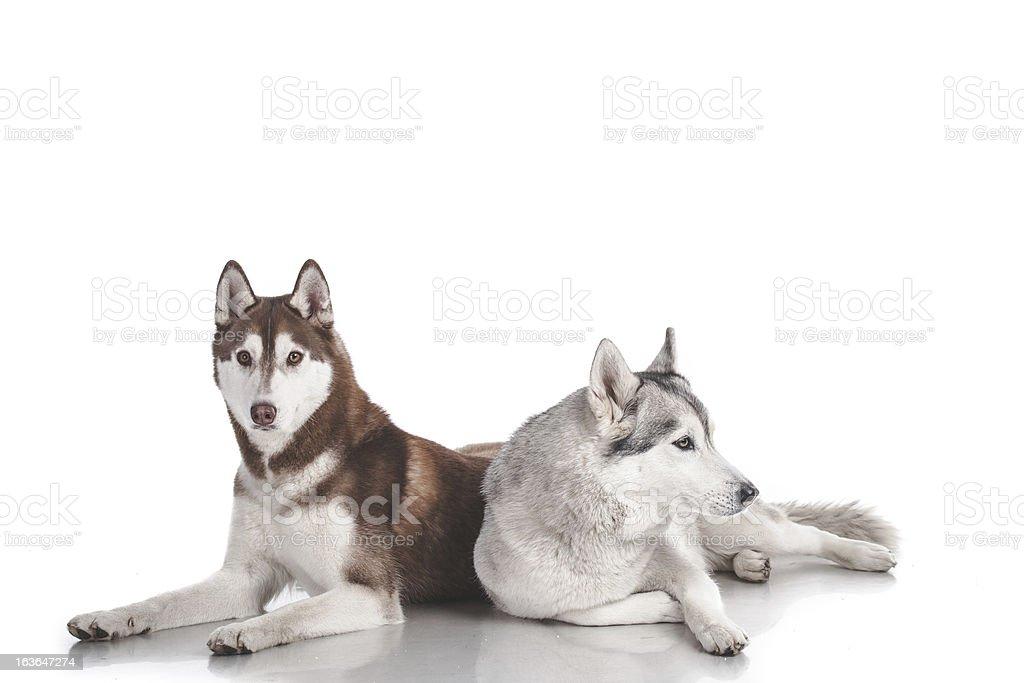 Zwei Sibirischer husky, isoliert auf weiss Lizenzfreies stock-foto