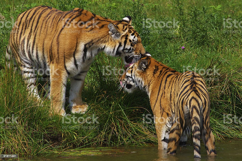 Two Siberian tigers royalty-free stock photo