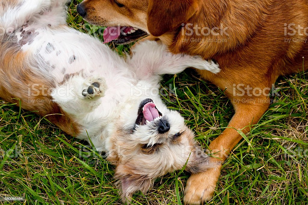 Two silly mutts playing happily in grass stock photo