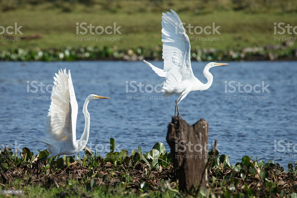 Two silver Herons flying of in Pantanal stock photo