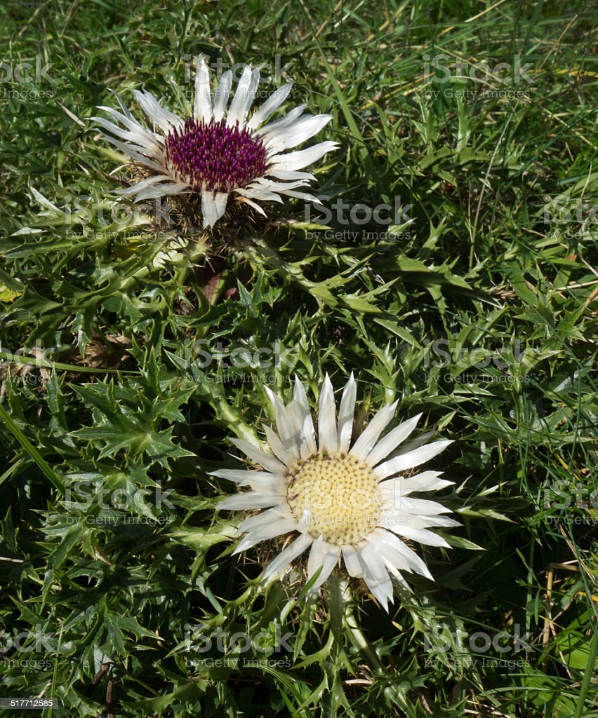 Two silver thistles royalty-free stock photo
