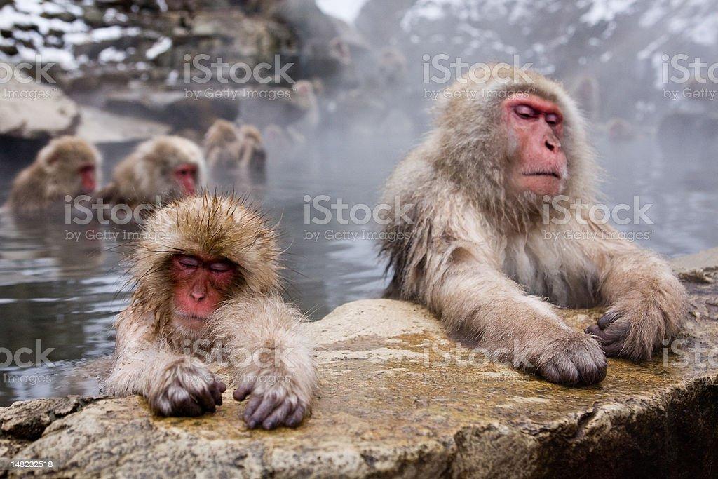 Two sleeping monkeys stock photo