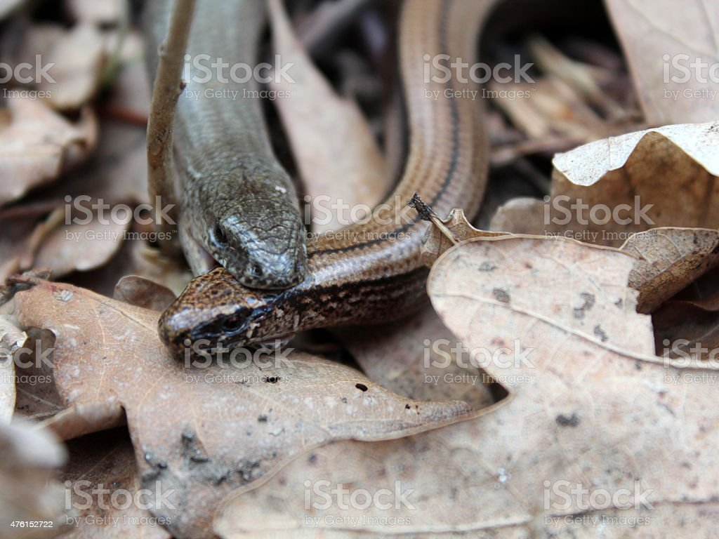 Two slow worms mating stock photo