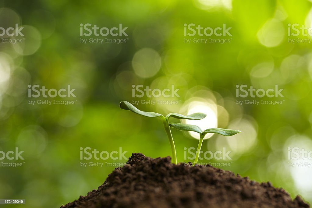 two small bud growing together in spring royalty-free stock photo