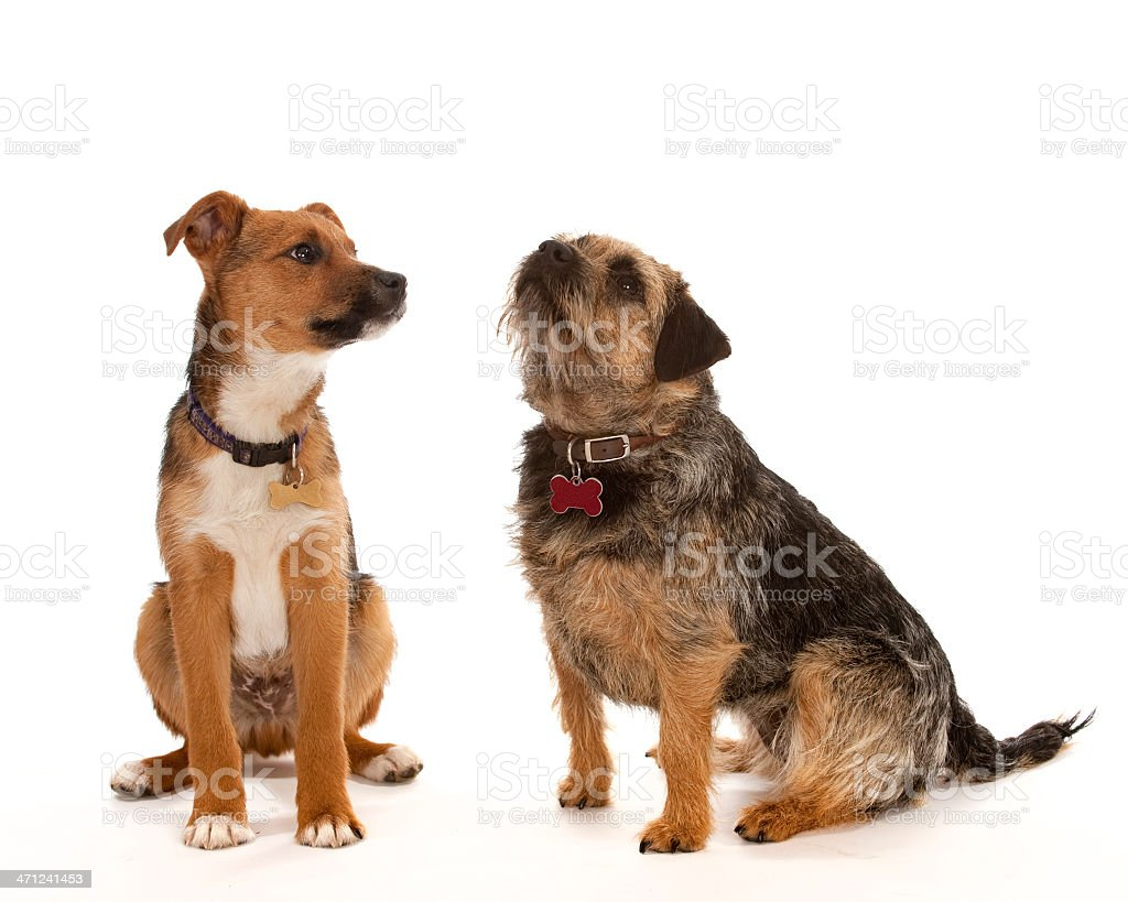 Two small dogs isolated on white royalty-free stock photo