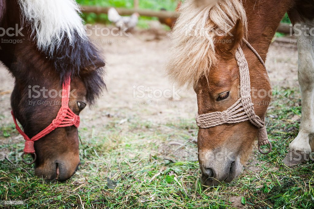 Two small horses eating grass stock photo