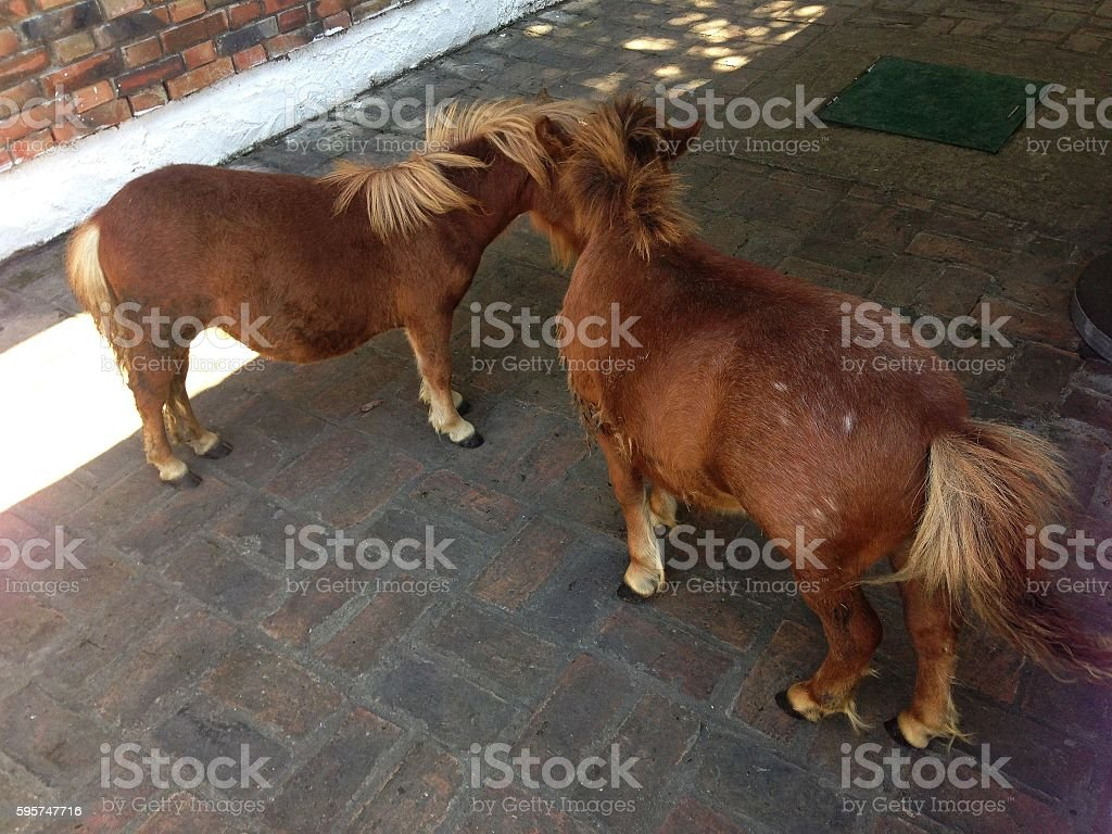 Two small ponies stock photo
