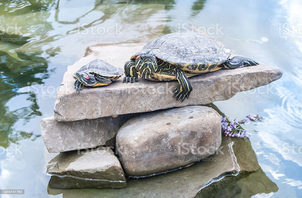 two small turtles lying on rocks and basking stock photo