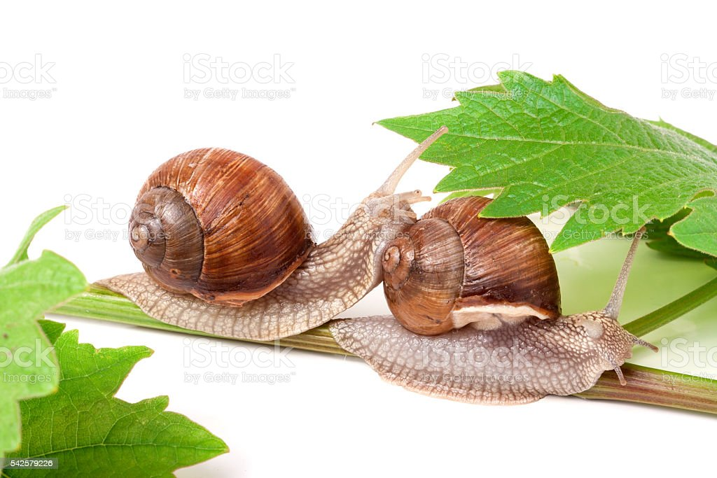 two snails crawling on the vine with leaf white background stock photo