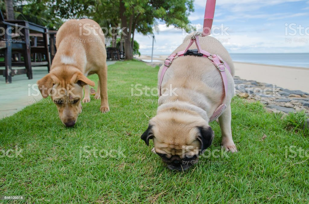 Two sniffing dogs smell to find something on grass at beach