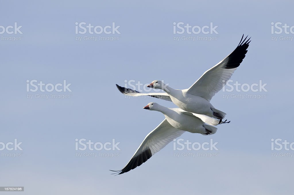 Two Snow Geese (Chen caerulescens) Flying in Formation royalty-free stock photo