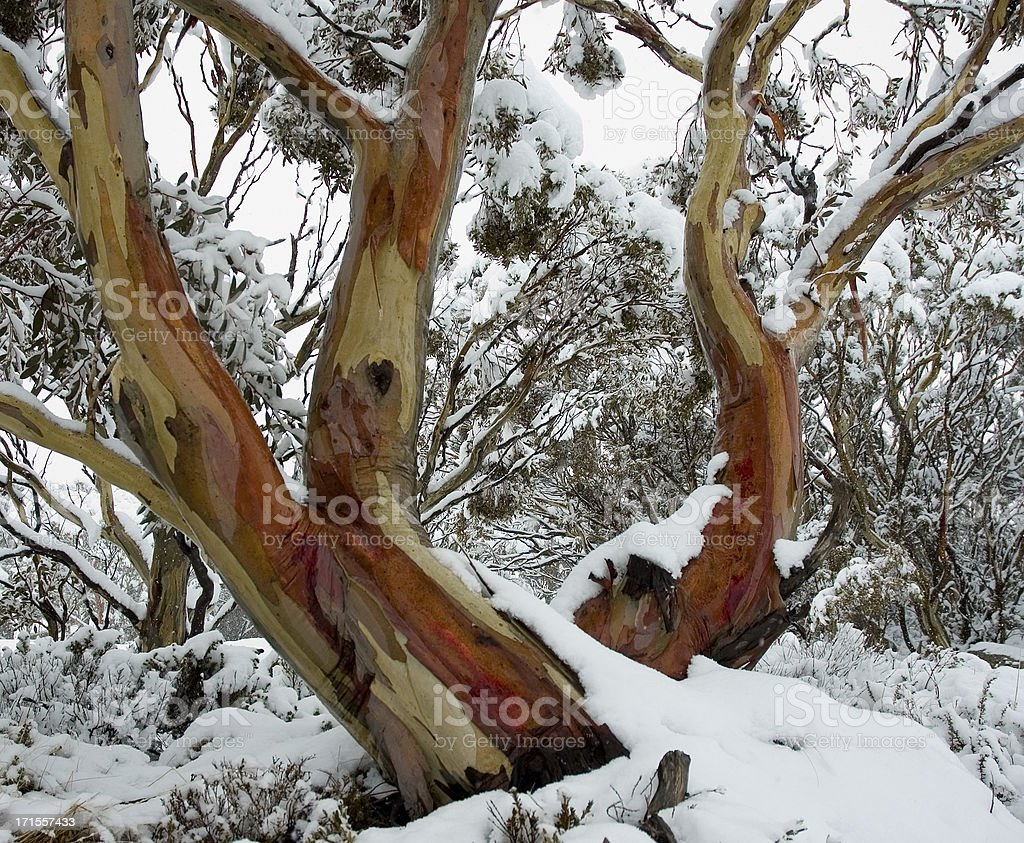 Two Snow Gums stock photo