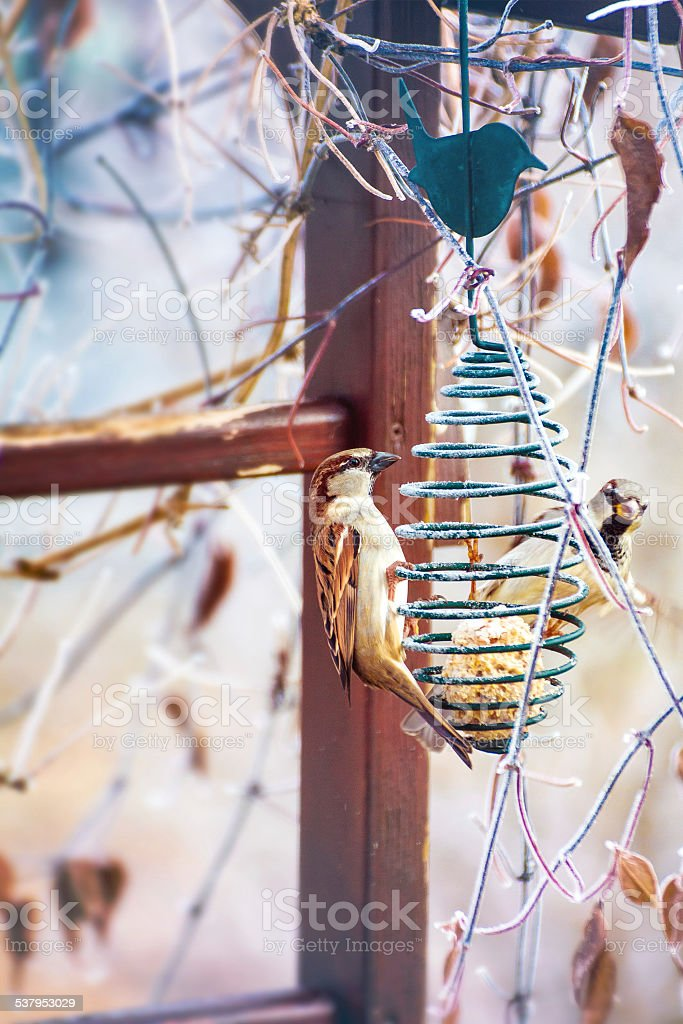 Two sparrow on bird feeder with seeds in winter stock photo