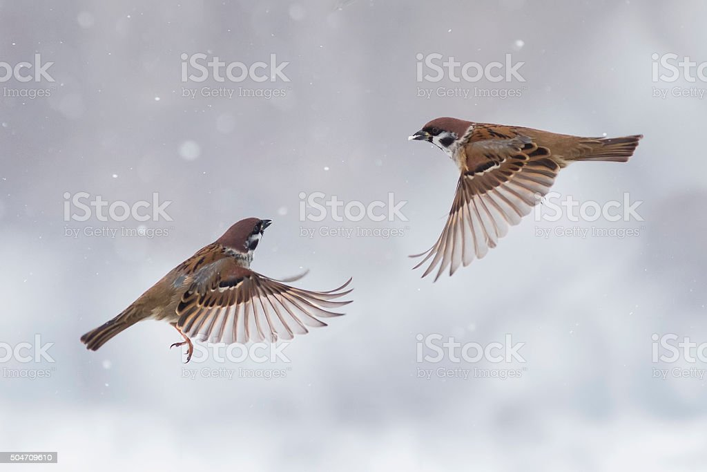 two sparrows flying in the sky stock photo