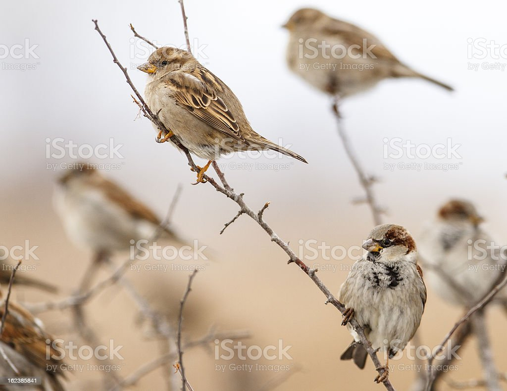 Two sparrows no bench front of nice background royalty-free stock photo