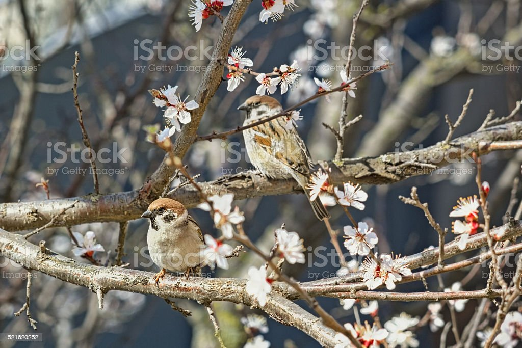 Two sparrows on flowering branches of apricot tree stock photo