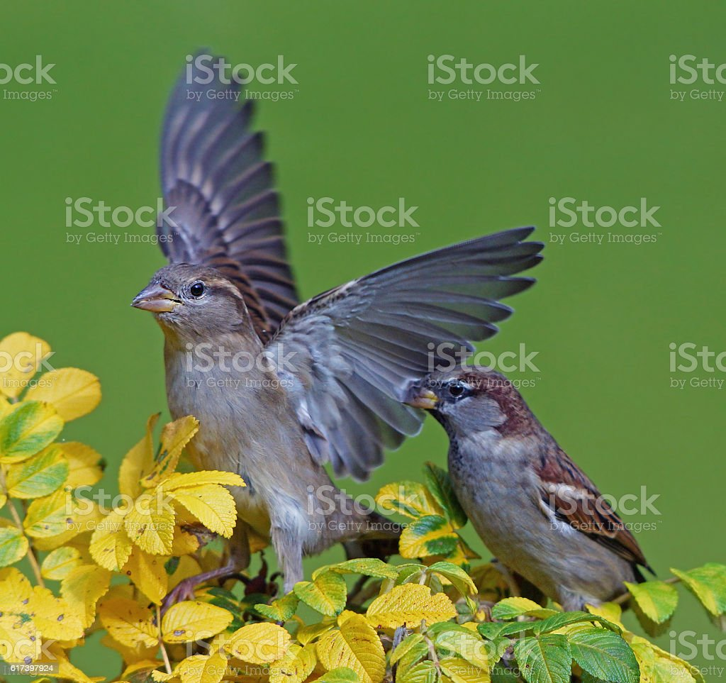 Two sparrow`s stock photo