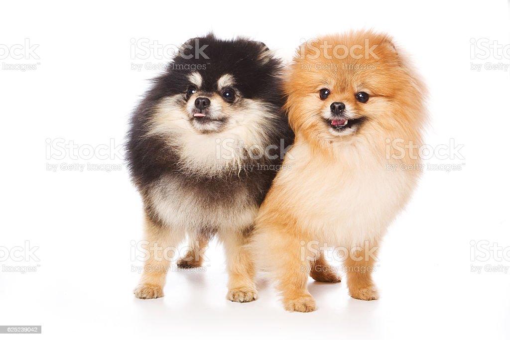 Two Spitz puppy dog (isolated on white) stock photo